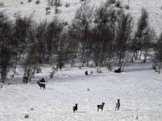 内蒙古黄岗梁国家森林公园野生马鹿增长到3400多只
